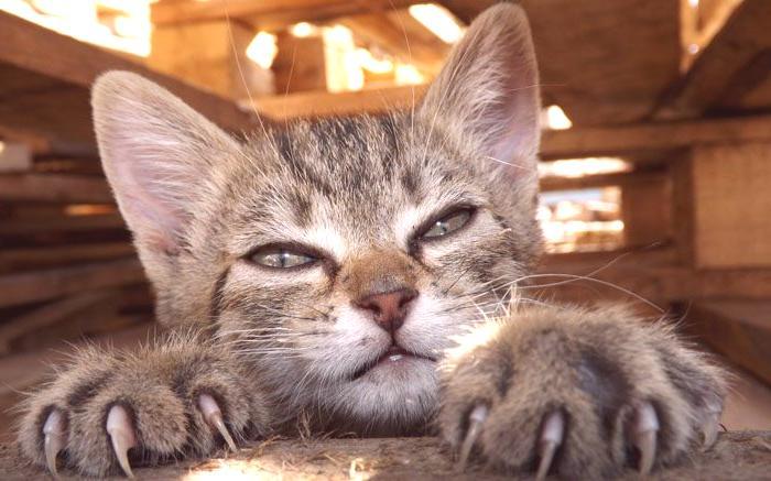 veľké nafúknuté mačička pics